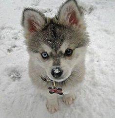 Husky puppy happy with Neptune Snowstorm