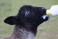 Bottle feeding lambs aren't always necessary, but it's important to know how to bottle feed a lamb to be prepared when an emergency arises. Small House Living, Raising Goats, Urban Survival, Happy House, Bottle Feeding, Hobby Farms, Lambs, Pet Care, Home Remedies