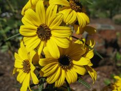 Today the whorled sunflower, as well as two other flower species, were granted federal protection under the Endangered Species Act.