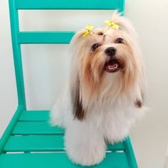 Pet Shop, Shih Tzu, Love Dogs, Animals, Fluffy Animals, The World, Cats, Dogs, Animales