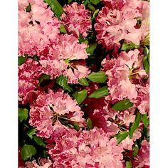 Rhododendron needlepoint or cross-stitch graph