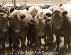 Red Angus yearlings on grass.