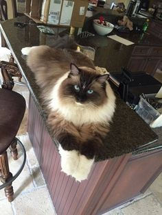 I seriously love ragdoll kittens. best images ideas about ragdoll kitten - most affectionate cat breeds - Tap the link now to see all of our cool cat collections! Cute Cats And Kittens, Cool Cats, Kittens Cutest, Funny Cats, Funny Animals, Cute Animals, Animals Images, Pretty Cats, Beautiful Cats