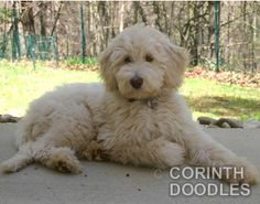 Goldendoodle, lilke my sweet Sully boy. Labradoodle Breeders, Australian Labradoodle, Goldendoodles, Labradoodles, Love My Dog, Really Cute Puppies, Cute Dogs, Goldendoodle Haircuts, Goldendoodle Grooming
