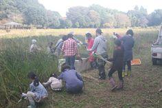 東京都内、トトロの森の麓の北山公園内の所有田で生産される古代米。 毎年10月頃、古代米の稲刈り体験、はざかけ体験を行っております。素晴らしいロケーションの中での農業体験をお楽しみください。