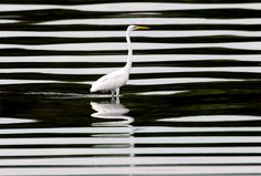 Photo of the Day: Egret