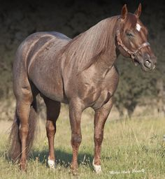 Jason's Peptolena Strawberry roan Quarter Horse stallion by Peptoboonsmal out of a Smart Little Lena daughter Quarter Horses, American Quarter Horse, All The Pretty Horses, Beautiful Horses, Animals Beautiful, Horse Photos, Horse Pictures, All About Horses, Majestic Horse