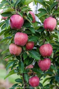 Red apples ripening on trees in an apple orchard. Fruit Bearing Trees, Fruit Trees, Trees To Plant, Fruit Garden, Garden Trees, Beautiful Fruits, Beautiful Flowers, Fruit And Veg, Fresh Fruit