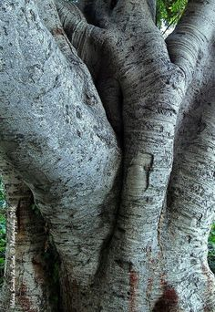 Textures and Patterns (Tree: Ficus benjamina L.; Family: Moraceae; from Asia), Photo credits by Helena Simões da Costa © Photography 2016 (in Lisboa); My other photographic works, here: http://helenasimoesdacosta.wix.com/helencostafotografia. #trees