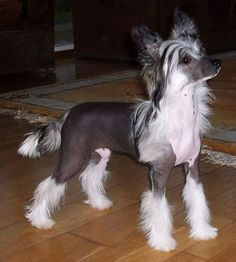 chinese crested dog morgana elkati chinese crested dog pinterest. Black Bedroom Furniture Sets. Home Design Ideas