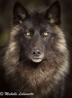 Timber Wolf by Michelle Lalancette on 500px