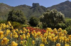 `Fynbos` at Kirstenbosch in South Africa. Cape Town South Africa, Kwazulu Natal, Victoria Falls, Trees To Plant, Botanical Gardens, Beautiful World, Flora, Scenery, Southern