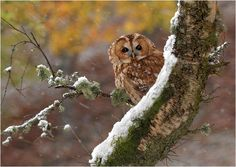 "The Standing Stone and the Twisted Tree... - earth-song: ""Tawny Owl Scotland"" by Ronald..."