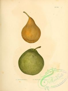 pear-01152 - Capiamont Pear, Winter Neelis - craft Edwardian pages wall engravings lithographs nature 17th 1800s blooming fabric art botany nice flora domain 1900s Paper floral printable ornaments clipart digital vintage public picture Victorian  botanical collage books commercial flowers transfer pack masterpiece Pictorial old ArtsCult.com high scrapbooking scan free ArtsCult 1700s qulity download flower instant pre-1923 collection supplies beautiful naturalist use decoration Graphic… Collage Book, Floral Printables, Fabric Art, Botany, Pear, Clip Art, Digital, Crafts, Manualidades