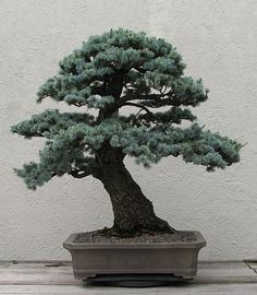 "A Blue Atlas Cedar (Cedrus atlantica var. ""glauca"") bonsai on display at the National Bonsai & Penjing Museum at the United States National Arboretum. According to the tree's display placard, it has been in training since 1950. It was donated by John Y. Naka. This is the ""back"" of the tree."