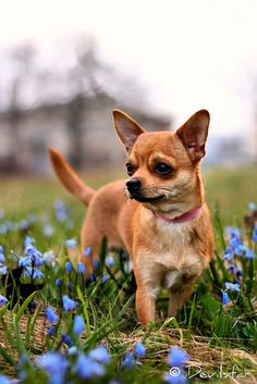 Chihuahua, by Devilstar #dogs #chihuahua #pinterest