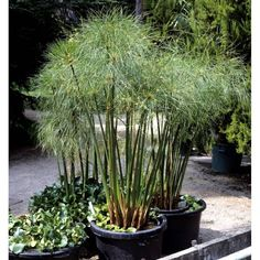Papyrus is a vigorous plant suitable for growing in USDA hardiness zones 9 through but overwintering papyrus plants is critical during the winter months in more northern climates. Learn more about winter papyrus care in this article. Cyperus Papyrus, Container Plants, Container Gardening, Fargesia, Magic Garden, Overwintering, Olive Garden, Pot Plante, Tropical Plants