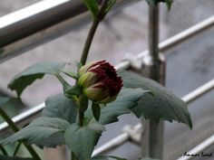 Red growing buds of Dahlias from the family of Asteraceae.