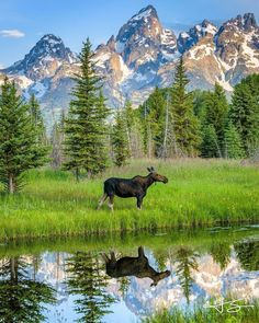 Our debut road trip to the Tetons-Grand Teton National Grand Teton National Park, National Parks, Beautiful Creatures, Animals Beautiful, Moose Pictures, Mundo Animal, Amazing Nature, Belle Photo, Beautiful Landscapes