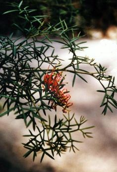 Grevillea rivularis - part shade/shade, well drained to poorly drained soils drought tolerant when established, sounds like an all rounder but have not seen it in the flesh Small Shrubs, Australian Plants, Drought Tolerant, Sounds Like, Native Plants, Garden Inspiration, Pink Flowers, Nativity, Flora
