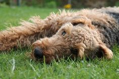Airedale Terrier girl...relaxing.