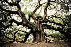 """""""The Angel Oak is a Southern live oak tree located in Angel Oak Park, in Charleston, South Carolina on Johns Island, one of South Carolina's Sea Islands. It is estimated to be over 1400 years old, standing 20 m (65 feet) tall, 2.47 m in diameter, and the crown covers an area of 1,580 m² (17,000 square feet). Its longest limb is 27 m (89 feet) in length."""""""