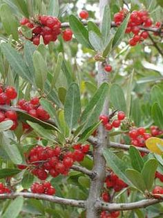 Shepherdia argentea Buffalo Berry, Silver Buffaloberry, Fruit Plants, Tall Plants, Berry, Tropical Vibes, Tropical Prints, Tropical Bridal Showers, Wild Edibles, Red Fruit, Tropical Garden