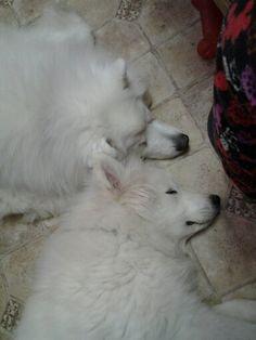 My sleeping samoyeds. I love these boys!!