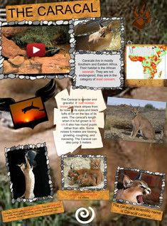 The Caracal Caracal Caracal Also Known As The Desert Lynx Is A