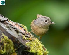 https://www.facebook.com/WonderBirds-171150349611448/ Lách tách má xám; Họ Khướu (Họ Họa mi)-Timaliidae/Babbler; Đông và Đông Nam Á    Grey-cheeked fulvetta (Alcippe morrisonia); IUCN Red List of Threatened Species 3.1 : Least Concern (LC)(Loài ít quan tâm).