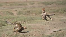 Cheetahs at Play Series 12 Shots - Image 4 of 12