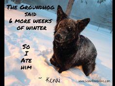 Kenai-GSD  #groundhogday #winter #germanshepherd