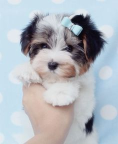 Gorgeous Biewer Yorkshire Terrier Puppy at TeaCups Puppies - my perfect pup Tiny Puppies, Teacup Puppies, Cute Puppies, Cute Dogs, Teacup Yorkie, Yorkshire Terriers, Biewer Yorkshire, Yorkies, Perro Shih Tzu