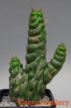 Eulychnia spiralis