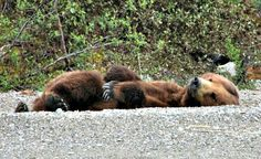 Off-the-grid cruising with kids in Alaska - a sleeping bear is just one of the incredible sights you might see.