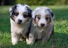 Blue Merle Australian Shepherd puppies need one named maybelline!!! #australianshepherdnames #australianshepherdpuppy
