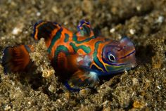 Mandarin fish or Mandarin dragonet (Synchiropus splendidus), New Britain, Papua New Guinea.The Coral Triangle, an area equivalent to roughly half the United States, is home to more than 2,200 species of reef fish.