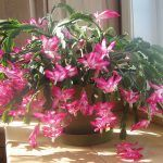 Container Gardening Did you acquire a Christmas cactus? This is a handy guide. - The Christmas Cactus, no other plant seems to be equal, for its odd beauty or for the number of questions from frustrated owners about its. Dry Plants, Cactus Plants, Indoor Plants, Flowering Succulents, Planting Flowers, Indoor Succulents, Christmas Cactus Plant, Flower Pot Design, Bokashi