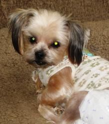 Diego is an adoptable Yorkshire Terrier Yorkie Dog in Dover, TN. Diego is a sweet little miniature Yorkie (5 lbs).� He is� being re-homed because his current owner is too ill to care for him anymore...