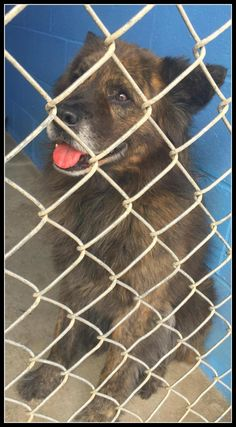 "URGENT! Meet 63658 ""Tiger"", a Petfinder adoptable Chow Chow Dog 
