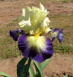 Photo of the bloom of Tall Bearded Iris (Iris 'Art Colony') Rare Flowers, Iris Flowers, Types Of Flowers, Amazing Flowers, Beautiful Flowers, Iris Garden, Garden Plants, Clematis, Barba Iris