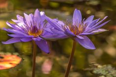 Purple water lilies | Flickr - Photo Sharing!