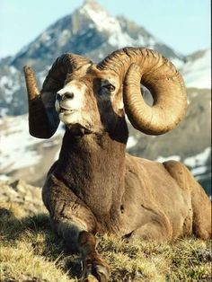 Photographic Print: Bighorn Sheep Ram Sits on Grass Poster by Jeff Foott : 24x18in