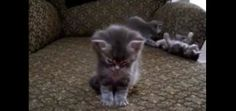 We can't get enough of this adorable video. This little kitten just can't stay awake. http://moderncat.com/articles/video-day-kitten-falls-asleep/68958