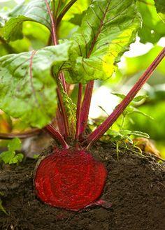 Growing Beets how-to. It's super easy! #growfood #ediblegarden