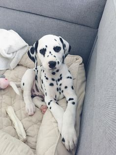 @viljodalmatian #dalmatian #dalmatianpuppy #puppy #dalmatiandog Cute Puppies, Cute Dogs, Dogs And Puppies, Doggies, The Animals, Cute Little Animals, Dalmatian Dogs, Cute Creatures, Beautiful Dogs