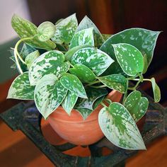 Top 5 Inexpensive Family Room ideas silver Pothos or Silvery Anne . Outdoor Plants, Potted Plants, Garden Plants, Foliage Plants, Exotic Plants, Tropical Plants, Plant Aesthetic, Variegated Plants, Plant Decor