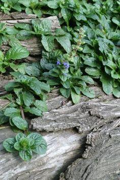 Günsel, Galgelkraut, Güldengünsel Ajuga reptans   Lamiaceae