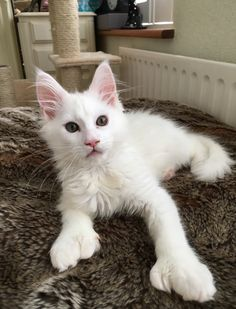 Lady Isadora White polydactyl Maine coon cat