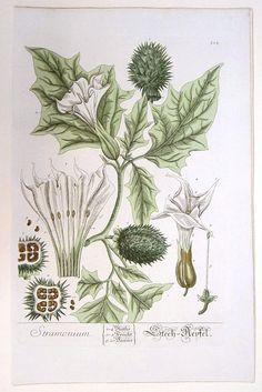 BLACKWELL, E. - Stramonium./ Stech-Aepfel. (Datura)